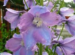 Mauve/Blue Delphinium (Terry Pinnegar Photography) Tags: blue flower garden mauve delphinium