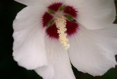 white on black (j man.) Tags: flowers flower macro nature beautiful photography flickr estrellas simply