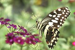 Sweet (* mateja *) Tags: macro butterfly creative moment mateja specanimal creativemoment infinestyle citrit butterflyexhibitionatarboretumvoljipotok