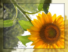 SUNFLOWER for SHARI (Tracey Tilson Photography) Tags: summer plant flower green yellow closeup garden 50mm nc nikon bokeh north indiana seeds explore sunflower sharing carolina nikkor shari frontpage 2009 homegrown share d90 firstever sunflowerforshari