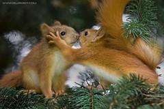 Kissing Squirrels (BEZBERDY) Tags: red playing tree kids fur squirrel kiss kissing little small cube belarus minsk sharingakiss