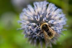 Parc Floral - Vincennes-15 (MissDogo) Tags: paris macro fleur closeup parc insectes vincennes chardon parcfloral bourdon proxyphoto hym hyménoptères hymnoptres