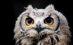 A Most Serious Subject (left-hand) Tags: baby bird owl bengal breathtaking avian firtree birdwatcher eagleowl babyowl ilovemypics qualitypixels thewonderfulworldofbirds firtreefalconry bengalbabyowl