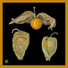 Physalis alkekengi L. - (lanterna cinese) - Colombia (giubit) Tags: frutas fruits fruit colombia supermarket mercado frutta mercato frutti naturelovers exoticfruit supermercato solanaceae frutto physalisalkekengi lanternacinese