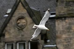 """Viraje BCN"" (FOlmeda) Tags: bird scotland nikon seagull escocia gaviota inverness d300 scotlanda"