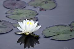 Algonquin Pond (Megan Lorenz) Tags: white ontario canada flower reflection nature water outdoors pond waterlily blossom getty blooming gettyimage algonquinprovincialpark meganlorenz vosplusbellesphotos mlorenzphotography
