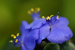 Monday Monday (hotes trinkets/DaydreamingKat) Tags: blue flower nature fleur flickr natural nophotoshop nocrop fa flore hmb naturesfinest tradescantiavirginiana yellowstamens mondaymonday straightfrommycamera nocolorsadded absolutelynatural ksunflowerswest
