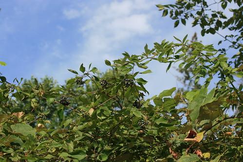 cornusamomum silkydogwood