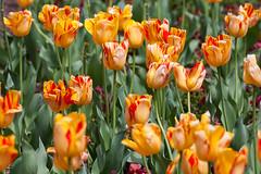 Tulips (khrapovs) Tags: park usa flower nature garden durham northcarolina tulip dukeuniversity sarahpdukegardens
