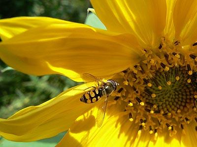 tournesol et abeille.jpg