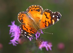 Vanessa the Iron Lady (DrPhotoMoto) Tags: butterfly vanessavirginiensis ironweed americanpaintedlady