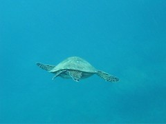 Cruising With Turtles ([ CK ]) Tags: hawaii underwater freediving kauai honu greenseaturtle g9