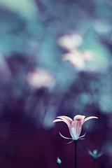 Twilight in the Faery Land (Tanjica Perovic) Tags: blue flower forest photography lowlight woods fotograf photographer bell bokeh explore dreamy 70mm  forestflowers srpski sigma1770mm huesofblue fotografija  canoneos400d bluebellbellflower ethreal  commonwildflower blueforestbellflower  tanjicaperovicphotography