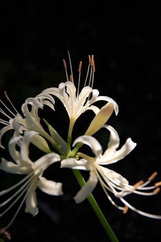 Spider Lily 2009 - その9