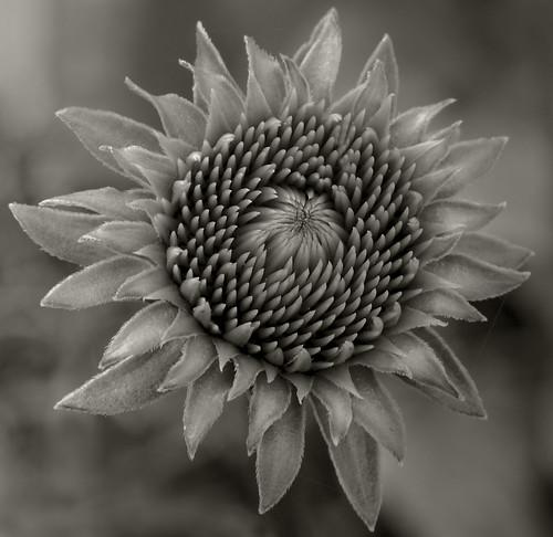 Becoming Echinacea 1