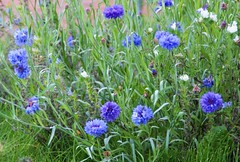 Cornflowers (PhylB) Tags: cornflowers