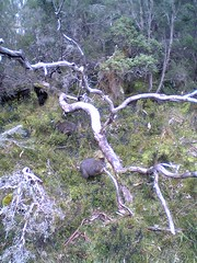 Small marsupial at Cradle Mountain