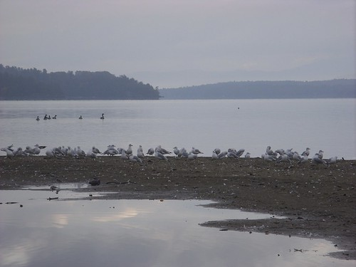 gulls & geese on the sandbar