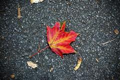 Everything's Eventual (Rutger Blom) Tags: autumn red nature public yellow leaf europa europe sweden natur skandinavien herfst blad sverige asphalt scandinavia geel rood gul hst zweden asfalt rd lv