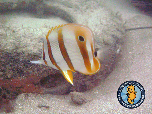 Copper-banded butterflyfish