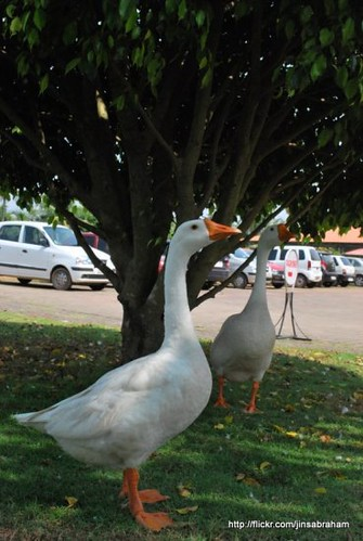 Geese in the front of Rajgiri college cochin