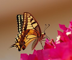 Swallowtail Butterfly................ (Ilias Orfanos) Tags: pink flower macro yellow butterfly bokeh olympus greece swallowtail swallowtailbutterfly gmt patras anawesomeshot superaplus aplusphoto fbdg beautifulmonsters bokamvilia