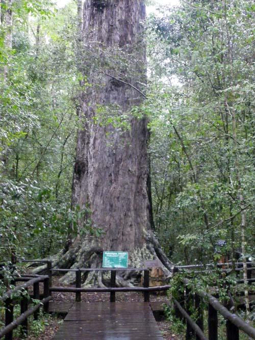 Riesenbaum an der R339