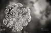 Supernova.. (SonOfJordan) Tags: bw white black blur nature monochrome closeup canon eos dof bokeh amman jordan supernova xsi 450d samawi sonofjordan shadisamawi wwwshadisamawicom