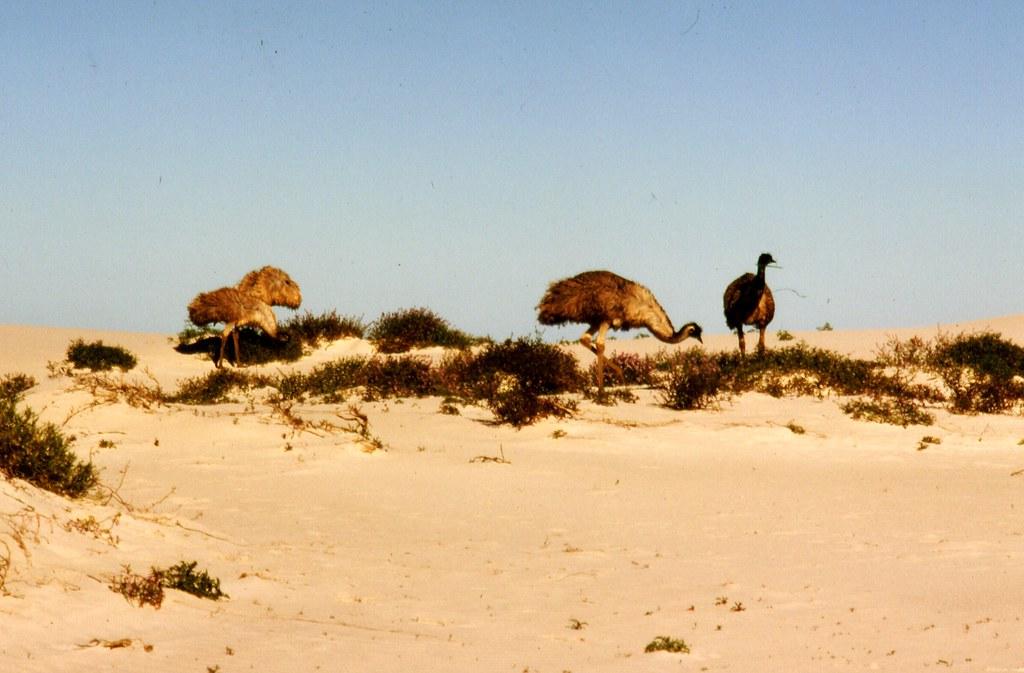 Emus, Eucla.