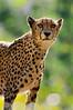 Attentive and proud mother cheetah (Tambako the Jaguar) Tags: wild standing cat zoo switzerland big nikon feline bokeh kitty fast basel spotty cheetah zolli gepard d300 acinonyxjubatus guépard impressedbeauty