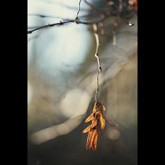 ornament. (kvdl) Tags: sunlight backyard december branch bokeh canonef100mmf28usmmacro kvdl
