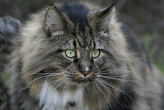 JB (M-O-O-N that spells ...) Tags: moon mainecoon jb 2009 leemingpark
