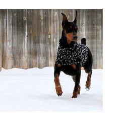 Dog Sweaters Dobermans Wwwpicturessocom