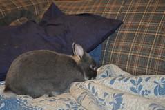 20091217_14 (sensitivebunnyguy) Tags: bunny bunnies netherlanddwarfrabbit cutebunnies santamax cuterabbits cuterabbitphotos cutebunnyphotos nikond5000 lopearrabbits santabunnies santasundae