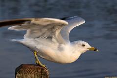 Off for the Holidays! (20090806-192258-PJG) (DrgnMastr) Tags: birds geotagged gulls archives interestingness238 i500 grouptags avianexcellence allrightsreserveddrgnmastrpjg eiap rawjpg geo:lat=46083609 geo:lon=64803554 explore20091225 pjgergelyallrightsreserved