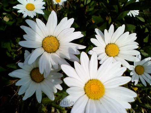 backyard summer daises