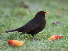 Male Blackbird feeding on apples (PaulSHill) Tags: uk grass birds lawn sigma apples 500mm blackbird maleblackbird d90 sigma500mm nikond90 nikond90club