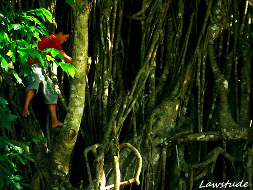 Balete Tree Drawing The Millennium Tree is The