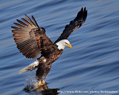 Bald Eagle, Lock and Dam 14 (Rick_in_the_QC) Tags: bird inflight eagle wildlife baldeagle iowa raptor mississippiriver haliaeetusleucocephalus birdsofprey nationalbird birdofprey quadcities lockanddam leclaire 70300mmf4556gvr photoshopelements5 nikond90 lockanddam14 nikkor70300mmf4556gifedafsvrzoom
