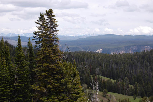yellowstone forest