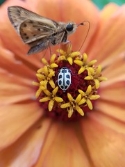 mariposa + borboleta (Paulo Mattes) Tags: macro borboleta borboletas bruxa insetos nature natureza flores flor flower joaninha mariposa