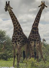 Symmetry (artabracelta) Tags: jirafas giraffes satara kruger sudafrica southafrica africa summer verano travel viaje safari portrait paisaje retrato animal naturaleza nature nikon d5100 teleobjetivo tamron 70300
