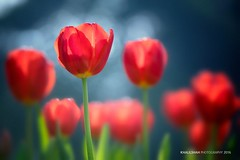 Be in love with your life every detail of it. (khalilshah) Tags: tulips redtulips tulip green background canvas like share khalilshahphotography khalil khalilshah shah punjab pakistan lahore lahoregarden lawrencegarden jinnahpark chinachowk tulipa lilioideae genus lily bulbous liliales liliaceae springblooming spring blooming