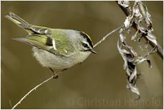 golden-crowned kinglet (Christian Hunold) Tags: goldencrownedkinglet songbird bird bokeh indianergoldhähnchen johnheinznwr philadelphia christianhunold
