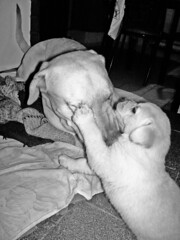Mis amores!!! (MeluRogi) Tags: pets love dogs beautiful yellow puppy labrador angus amor gorgeous father son retriever amour cachorro labs perros roger lovely padre amore mascotas liebe tenderness hijo ternura amorosos dorados tenero
