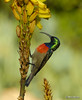 Double-collared Sunbird (Martin_Heigan) Tags: camera flower male bird nature digital southafrica succulent aloe nikon dof close martin bokeh double photograph greater d200 dslr collared afra sunbird suidafrika sigma170500apo nikonstunninggallery suikerbekkie heigan cinnyris doublecollared wimberleyhead aalwyn wsnbg mhsetbirds mhsetaloes mhsetflowers wickensii 18july2009