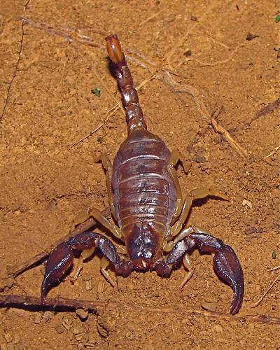 mtdiablo scorpion