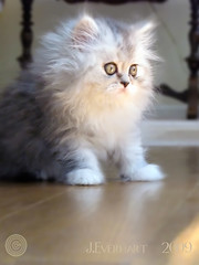Paris Looking Out ( julev69  1,200,000+ Views- THANK YOU!) Tags: paris cute persian furry soft little fuzzy sweet small adorable greeneyes littlegirl pet