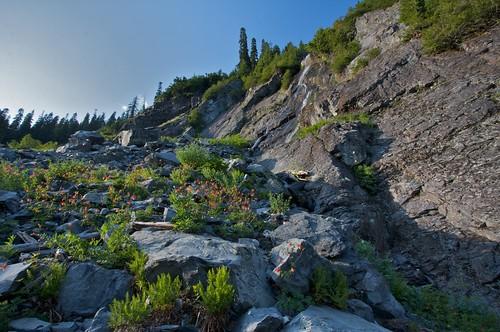 Columbine growing in rocks