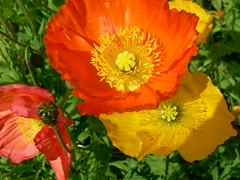 Looking for the Sun (poeticview23) Tags: flowers summer orange sun nature yellow poppies blooming canadianrockies